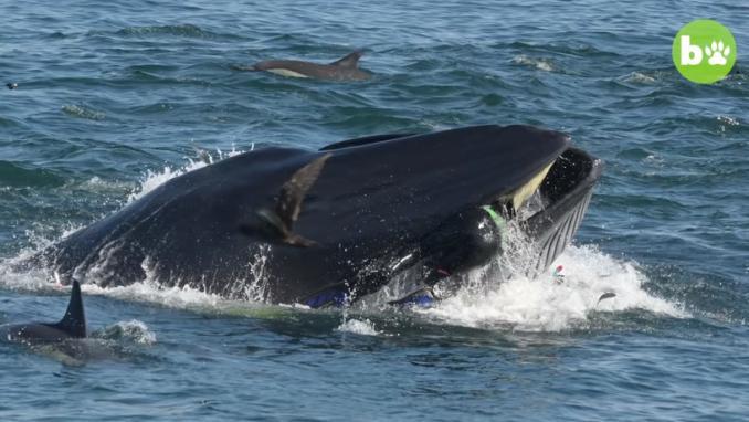 Un plongeur avalé et recraché par une baleine en Afrique du Sud